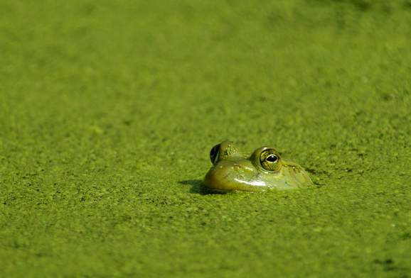 Pond-Algae Strategies