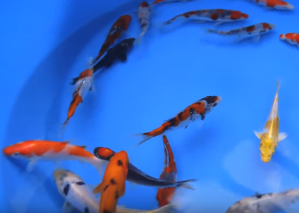 Koi Selection ABCs